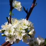 Bare Root Blue Damson Plum (<i> Prunus insititia</i>)