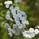 Bare Root Bridal Wreath Spirea (<i>Spiraea prunifolia</i>)