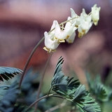 Bare Root Dutchman's Breeches (<i>Dicentra cucullaria</i>)