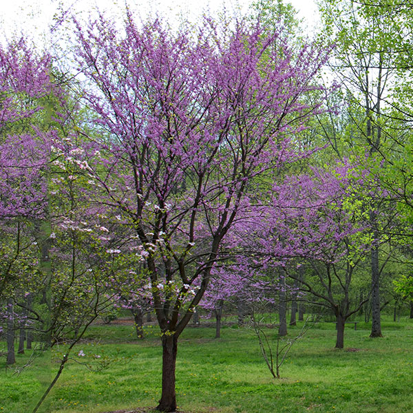 What does a redbud tree look like