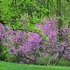 Bare Root Eastern Redbud (Cercis canadensis)