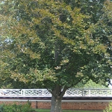 Bare Root European Copper Beech (<i>Fagus sylvatica</i> �Purpurea�)