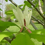 Bare Root Large-leaved Magnolia (<i>Magnolia macrophylla</i>)