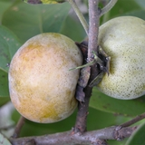 Bare Root Native Persimmon (<i>Diospyros virginiana</i>)