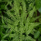 Bare Root Northern Maidenhair Fern (<i>Adiantum pedatum</i>)