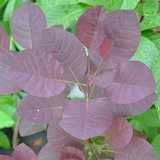 Bare Root Purple Smoketree (<i>Cotinus coggygria</i> var. <i>purpurea</i>)