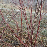 Bare Root Red-osier Dogwood (<i>Cornus sericea</i>)