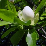 Bare Root Sweet Bay Magnolia (<i>Magnolia virginiana</i>)