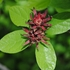 Bare Root Sweet Shrub (Calycanthus floridus)
