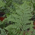 Bare Root Toothwood Fern (Dryopteris carthusiana)