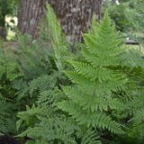 Bare Root Toothwood Fern (<i>Dryopteris carthusiana</i>)