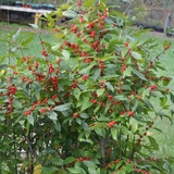 Bare Root Winterberry Holly (female) (<i>Ilex verticillata</i> 'Maryland Beauty')