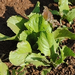Bath Cos Lettuce Seeds (<i>Lactuca sativa</i> cv.)
