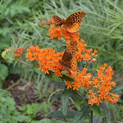 Butterfly Weed Seeds (Asclepias tuberosa)