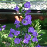 Canterbury Bells (<i>Campanula medium</i>)