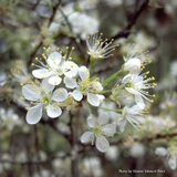 Chickasaw Plum (<i>Prunus angustifolia</i>)