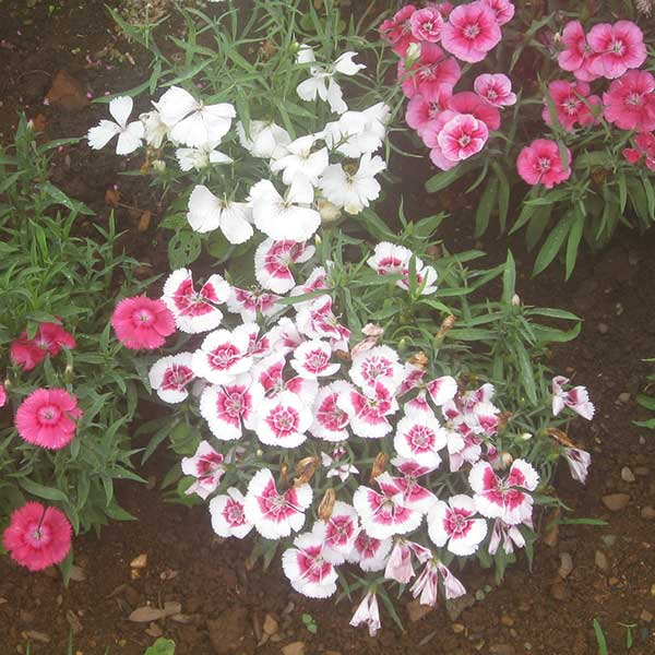 China pink dianthus chinensis mightylinksfo