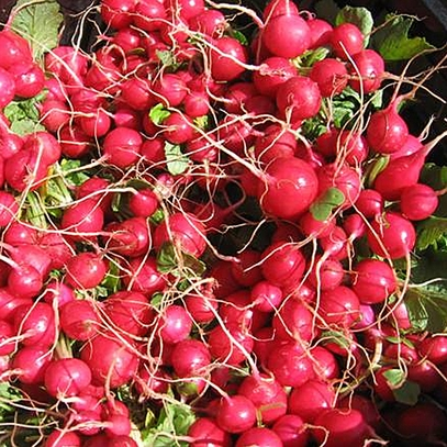 Early Scarlet Globe Radish Seeds (Raphanus sativus cv.)