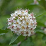 Bare Root Eastern Ninebark (<i>Physocarpus opulifolius</i>)