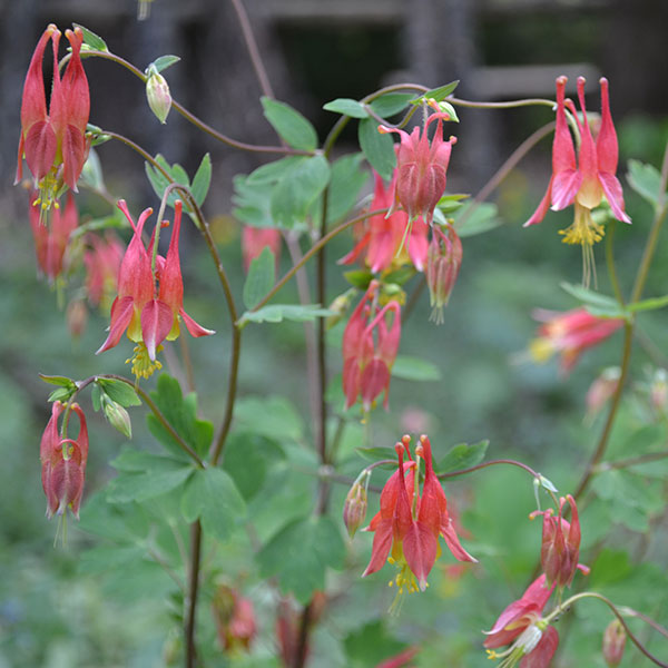 Eastern Red Columbine Seeds Aquilegia Canadensis