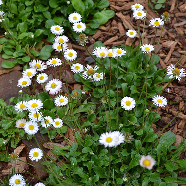 Perennial flower seeds english daisy seeds ibellis mightylinksfo