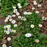 English Daisy Seeds (<i>Bellis perennis</i>)