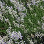 English Lavender (<i>Lavandula angustifolia</i>)