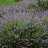 English Lavender Seeds (Lavandula angustifolia)