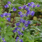 Blue False Indigo (<i>Baptisia australis</i>)