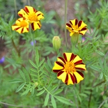 Striped French Marigold Seeds (<i>Tagetes patula</i>)