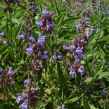 Garden Sage (<i>Salvia officinalis</i>)