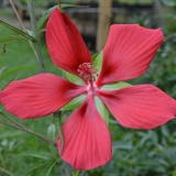 Great Red Hibiscus (<i>Hibiscus coccineus</i>)