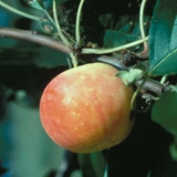 Hewes Crab Apple Tree (<i>Malus</i> cv.)