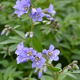 Jacob's Ladder (<i>Polemonium reptans</i>)