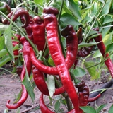 Jimmy Nardello's Sweet Pepper Seeds (<i>Capsicum annuum</i> var. <i>annuum</i>)