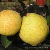 Bare Root Kieffer Pear Tree (<i>Pyrus communis</i> x <i>Pyrus pyrifolia</i>)