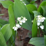 Lily-of-the-Valley (<i>Convallaria majalis</i>)