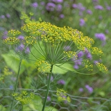 'Long Island Mammoth' Dill Seeds (<i>Anethum graveolens</i>)