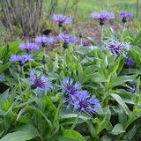Mountain Bluet (<i>Centaurea montana</i>)
