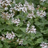 Nutmeg-Scented Geranium (<i>Pelargonium</i> x <i>fragrans</i>)