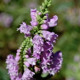 Obedient Plant (<i>Physostegia virginianum</i>)