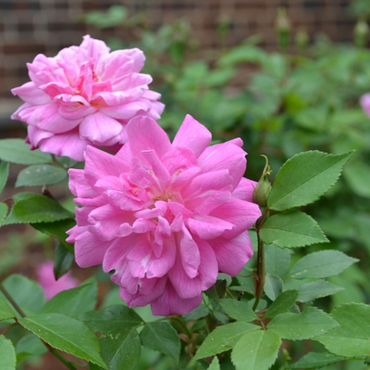 'Old Blush' China Rose (Rosa chinensis cv.)