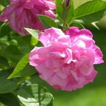 'Climbing Old Blush' China Rose (<i>Rosa chinensis</i> cv.)