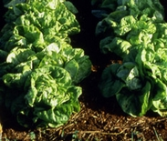 Paris White Cos Lettuce Seeds (<I>Lactuca sativa</I> cv.)