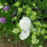 Pincushion Flower Seeds (<I>Scabiosa atropurpurea</I>)