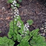 Pink Foamflower (<i>Tiarella wherryi</i>)