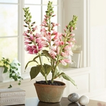 Potted Foxglove