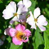 Queen of the Prairies Rose (<i>Rosa setigera cv.</i>)
