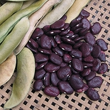 Red Calico Lima Bean (<i>Phaseolus lunatus</i> cv.)
