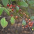 Red Chokeberry Bare Root (Aronia arbutifolia)